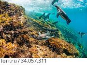 Купить «Galapagos penguins (Spheniscus mendiculus) swimming underwater, Tagus Cove, Isabela Island, Galapagos,», фото № 34057311, снято 12 июля 2020 г. (c) Nature Picture Library / Фотобанк Лори
