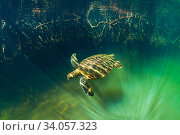 Купить «Green turtle (Chelonia mydas) swimming near coast with mangrove roots, , Posa de los Patillos, Fernadina Island, Galapagos.», фото № 34057323, снято 4 августа 2020 г. (c) Nature Picture Library / Фотобанк Лори