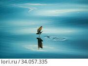 Купить «White-vented storm petrel (Oceanites gracilis galapagoensis) running across water, offshore Cape Berkeley, Isabela island, Galapagos,», фото № 34057335, снято 10 июля 2020 г. (c) Nature Picture Library / Фотобанк Лори