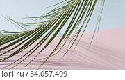 Купить «Smooth slow movement of a branch of an green tropical palm tree with long leaves touching a duotone pink blue background. Shadows from branch. Full HD video, 240fps, 1080p.», видеоролик № 34057499, снято 4 июля 2020 г. (c) Ярослав Данильченко / Фотобанк Лори