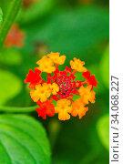 Купить «Close up view of a beautiful Lantana Camara flower in the garden.», фото № 34068227, снято 12 июля 2020 г. (c) easy Fotostock / Фотобанк Лори