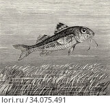 Mullus barbatus. The mud mullet, species of fish in the family Mullidae. It is mainly found in the Mediterranean Sea and North Atlantic. Old 19th century... Стоковое фото, фотограф Jerónimo Alba / age Fotostock / Фотобанк Лори