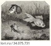 Carassius auratus. Chinese moor telescope goldfish. Old 19th century engraved illustration, El Mundo Ilustrado 1880. Стоковое фото, фотограф Jerónimo Alba / age Fotostock / Фотобанк Лори