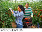 Купить «Latin american couple of gardeners harvesting tomatoes in greenhouse», фото № 34079115, снято 7 июля 2020 г. (c) Яков Филимонов / Фотобанк Лори