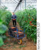 Купить «Gardener carrying boxes with red tomatoes in greenhouse», фото № 34079127, снято 9 июля 2020 г. (c) Яков Филимонов / Фотобанк Лори