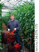Horticulturist harvesting red tomatoes in farm glasshouse. Стоковое фото, фотограф Яков Филимонов / Фотобанк Лори