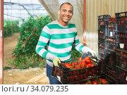 Cheerful Hispanic worker stacking boxes with tomatoes in greenhouse. Стоковое фото, фотограф Яков Филимонов / Фотобанк Лори