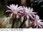 Купить «Succulent prickly, plant (Echinоpsis) with delicate flowers grows close-up», фото № 34079843, снято 8 июня 2020 г. (c) Татьяна Ляпи / Фотобанк Лори
