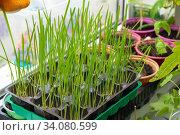 Купить «Выращивание на окне овса для кормления котов», фото № 34080599, снято 2 июня 2020 г. (c) Иванов Алексей / Фотобанк Лори