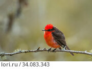 Купить «Galapagos vermilion flycatcher (Pyrocephalus nanus) male perched on twig, Pinzon Island, Galapagos. Endemic species.», фото № 34083343, снято 12 июля 2020 г. (c) Nature Picture Library / Фотобанк Лори