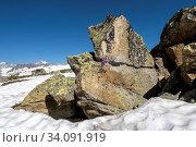 Die Rote Felsen-Primel blüht am warmen Fels, während darum herum noch Schnee liegt. Bei Furggulti oberhalb von Bellwald, Wallis. Ganz links Geisshorn, links Aletschhorn. Стоковое фото, фотограф Fredy Joss / age Fotostock / Фотобанк Лори