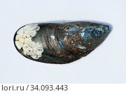 Close-up of black, white elongated shell Nahaufnahme einer schwarz,weißen länglichen Muschelschale. Стоковое фото, фотограф Zoonar.com/Eric Hepp / easy Fotostock / Фотобанк Лори