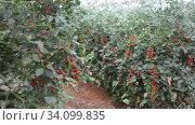 Купить «Growing organic red Cherry tomatoes on branch in glasshouse», видеоролик № 34099835, снято 9 июня 2020 г. (c) Яков Филимонов / Фотобанк Лори