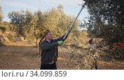 People harvesting olives from tree on plantation on sunny autumn day. Family farm concept. Стоковое видео, видеограф Яков Филимонов / Фотобанк Лори