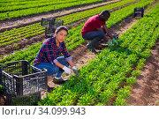 Купить «Colombian workwoman cutting green arugula on farm field», фото № 34099943, снято 13 июля 2020 г. (c) Яков Филимонов / Фотобанк Лори