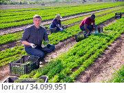 Farmer harvesting garden rocket on farm plantation. Стоковое фото, фотограф Яков Филимонов / Фотобанк Лори