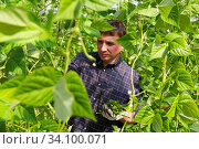Horticulturist harvesting ripe bean in farm glasshouse. Стоковое фото, фотограф Яков Филимонов / Фотобанк Лори