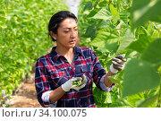 Colombian woman farmer harvesting bean in greenhouse. Стоковое фото, фотограф Яков Филимонов / Фотобанк Лори