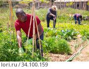 Купить «African american man with bamboo stick working with seedlings tomatoes», фото № 34100159, снято 16 июля 2020 г. (c) Яков Филимонов / Фотобанк Лори