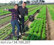 Купить «Communication of happy farmers after harvesting arugula», фото № 34100207, снято 18 мая 2020 г. (c) Яков Филимонов / Фотобанк Лори