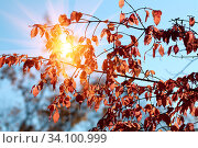 Купить «The rays of the bright sun shine through a branch with red leaves on an autumn day against a blue sky.», фото № 34100999, снято 26 сентября 2010 г. (c) Акиньшин Владимир / Фотобанк Лори