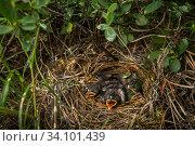 Kirtland's warbler (Setophaga kirtlandii) nest, Michigan, USA, July. Стоковое фото, фотограф Karine Aigner / Nature Picture Library / Фотобанк Лори