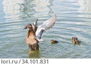Купить «Утка в воде бьет крыльями», фото № 34101831, снято 28 июня 2020 г. (c) E. O. / Фотобанк Лори