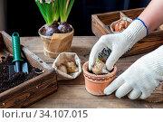 Купить «Gardening and planting concept. Woman hands planting hyacinth in ceramic pot. Seedlings garden tools tubers (bulbs) gladiolus and hyacinth flowers pink hyacinth. Toned and processing photo.», фото № 34107015, снято 3 июля 2020 г. (c) easy Fotostock / Фотобанк Лори