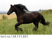 Friese im Galopp, dunkles Pferd, Bewegung, Action. Стоковое фото, фотограф Zoonar.com/www.Ramona-Duenisch.de / easy Fotostock / Фотобанк Лори