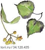 Купить «Green linden leaf. Leaf plant botanical garden floral foliage. Isolated illustration element. Aquarelle leaf for background, texture, wrapper pattern, frame or border.», фото № 34120435, снято 7 июля 2020 г. (c) easy Fotostock / Фотобанк Лори
