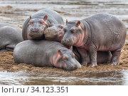 Купить «Creche of Hippopotamus babies (Hippopotamus amphibius). Mara River, Serengeti National Park, Tanzania», фото № 34123351, снято 30 июня 2020 г. (c) Nature Picture Library / Фотобанк Лори