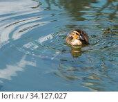 Купить «Маленький утенок плавает в пруду», фото № 34127027, снято 28 июня 2020 г. (c) E. O. / Фотобанк Лори