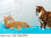Big ginger cat and American Shorthair cat resting lying on a blue background. Стоковое фото, фотограф Акиньшин Владимир / Фотобанк Лори