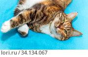 Portrait of a beautiful american shorthair cat. Стоковое фото, фотограф Акиньшин Владимир / Фотобанк Лори