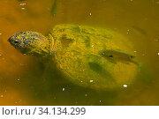Купить «Snapping turtle (Chelydra serpentina) and Bluegills (Lepomis macrochirus) Maryland, USA, May.», фото № 34134299, снято 11 июля 2020 г. (c) Nature Picture Library / Фотобанк Лори
