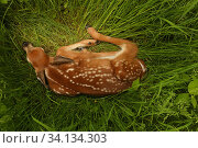 White-tailed deer (Odocoileus virginianus) fawn resting in long grass, New York, USA, May. Стоковое фото, фотограф John Cancalosi / Nature Picture Library / Фотобанк Лори