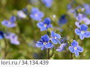 Germander speedwell (Veronica chamaedrys) clump flowering in a meadow, Suffolk, UK, May. Стоковое фото, фотограф Nick Upton / Nature Picture Library / Фотобанк Лори