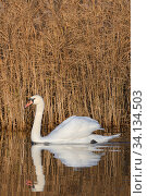 Mute swan (Anas clypeata) cob reflected in calm water as it swims past a dense stand of Common reeds (Phragmites australis) in flooded marshland, RSPB Ham Wall reserve, Somerset Levels, UK, December. Стоковое фото, фотограф Nick Upton / Nature Picture Library / Фотобанк Лори