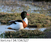 Купить «Common shelduck (Tadorna tadorna) drake standing in the margins of a shallow lake at dusk, Gloucestershire, UK, December.», фото № 34134527, снято 5 августа 2020 г. (c) Nature Picture Library / Фотобанк Лори