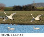 Купить «Bewick's swan (Cygnus columbianus bewickii) pair preparing to land near another pair swimming on a marshland pool, Gloucestershire, UK, December.», фото № 34134551, снято 4 августа 2020 г. (c) Nature Picture Library / Фотобанк Лори