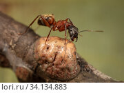 Купить «Ferruginous carpenter ant (Camponotus chromaiodes) getting honeydew from Tulip tree scale insect (Toumeyella liriodendri) Camp Woods Preserve, Pennsylvania, USA, August.», фото № 34134883, снято 14 июля 2020 г. (c) Nature Picture Library / Фотобанк Лори
