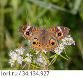 Common buckeye butterfly (Junonia coenia) French Creek State Park, Pennsylvania, USA, July. Стоковое фото, фотограф Doug Wechsler / Nature Picture Library / Фотобанк Лори