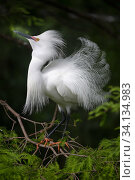 Купить «Snowy egret (Egretta thula) courtship display, St. Augustine Alligator Farm Zoological Park, Florida, USA, May.», фото № 34134983, снято 1 июля 2020 г. (c) Nature Picture Library / Фотобанк Лори