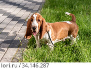 Купить «Basset Hound dog on a walk in the summer», фото № 34146287, снято 23 июня 2020 г. (c) Володина Ольга / Фотобанк Лори