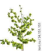 Купить «Spring blossoming rough elm tree branch (Ulmus glabra) close up, isolated on white background. Flowering plant with light green immature winged seeds in inflorescences and corrugated leaves», фото № 34151151, снято 6 июля 2020 г. (c) easy Fotostock / Фотобанк Лори