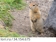 Купить «Arctic ground squirrel, carefully looking so as not to fall into jaws of predatory beasts. Cute wild animal of genus rodents of squirrel family», фото № 34154675, снято 30 августа 2019 г. (c) А. А. Пирагис / Фотобанк Лори