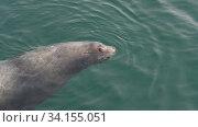 Wild animal marine mammal Steller Sea Lion swimming in cold water Pacific Ocean. Стоковое видео, видеограф А. А. Пирагис / Фотобанк Лори