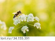 Купить «Пчела собирает нектар на белых цветках», фото № 34155391, снято 18 июня 2020 г. (c) Игорь Низов / Фотобанк Лори