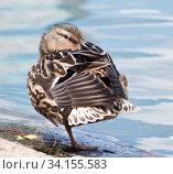 Купить «Птицы. Кряква (дикая утка) стоит на одной ноге, пряча клюв среди перьев, на берегу рядом с водой», фото № 34155583, снято 28 июня 2020 г. (c) E. O. / Фотобанк Лори