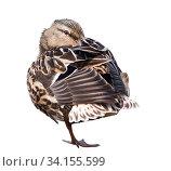 Купить «Птицы. Кряква (дикая утка) стоит на одной ноге, пряча клюв среди перьев. Изолировано на белом фоне», фото № 34155599, снято 1 августа 2020 г. (c) E. O. / Фотобанк Лори